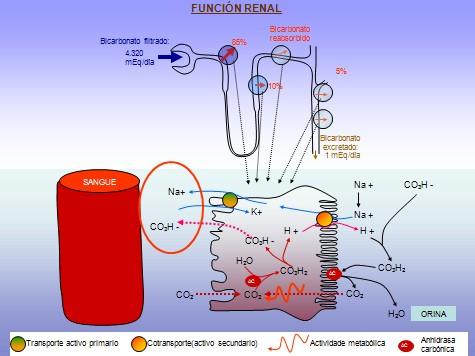 equilibrio_acido_base/funcion_renal