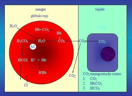 equilibrio_acido_base/hematico_globulo_rojo