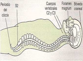 fisioterapia_deportiva_craneosacral/grafico_corte_sagital
