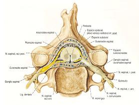 fisioterapia_deportiva_craneosacral/grafico_vertebra_meninges