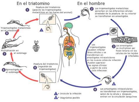 enfermedad_Chagas_Mazza/Trypanosoma_cruzi_triatomino
