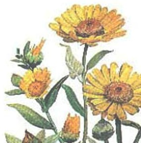 plantas_medicinales/calendula_officinalis