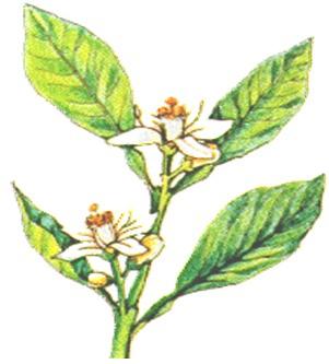 plantas_medicinales/limon_citrus_aurantifolia