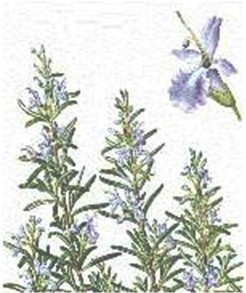 plantas_medicinales/romero_rosmarinus_officinalis