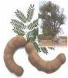 plantas_medicinales/tamarindo_tamarindus_indica