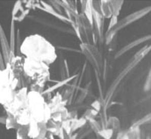plantas_toxicas/adelfa_nerium_oleander