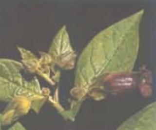 plantas_toxicas/belladona_solanum_dulcamara