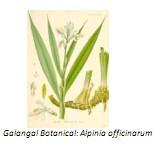 Universidad_Padua_Medicina/alpinia_galangal _botanical