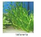 Universidad_Padua_Medicina/planta_acuatica_vallisneria