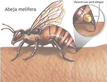 Picaduras de insectos: abejorros y abejas - Revista Electrónica de ...