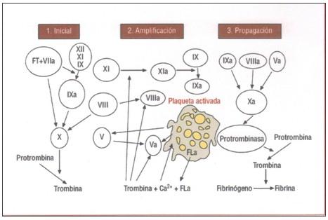 sistema_coagulacion_hemostasia/modelo_celular_coagulabilidad