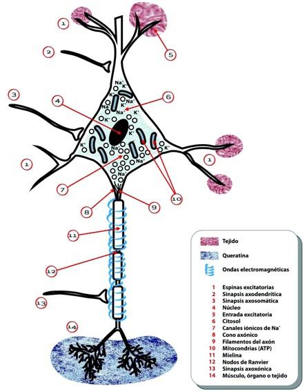 electricidad_cancer/celula_nerviosa_electroquimica