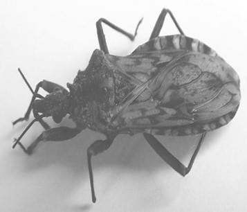 rhodnius_pictipes_robustus/Panstrongylus_rufotuberculatus_Chagas