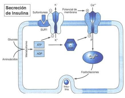 tratamiento_farmacologico_diabetes/mecanismo_accion_sulfonilureas