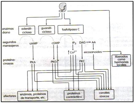 farmacodinamia_farmacologia/enzimas_mensajeros_proteinas
