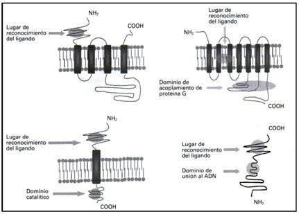 farmacodinamia_farmacologia/familia_de_receptores