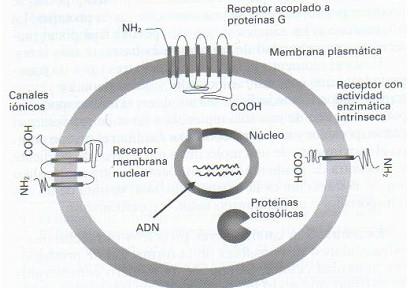 farmacodinamia_farmacologia/receptor_acoplado_proteinas