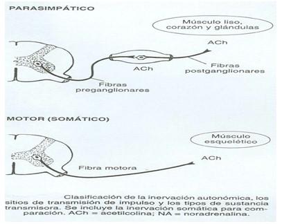 farmacos_agonistas_colinergicos/parasimpatico_motor_somatico