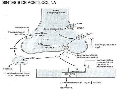 farmacos_agonistas_colinergicos/sintesis_de_acetilcolina