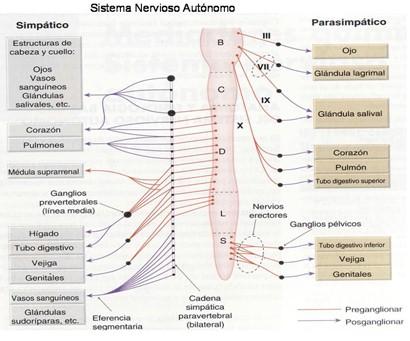 farmacos_agonistas_colinergicos/sistema_nervioso_autonomo