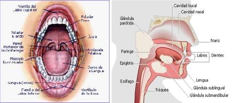 anatomia_via_aerea/boca