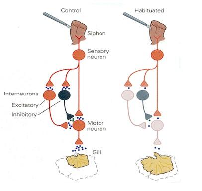 historia_sinapsis_neuronal/circuitos_aprendizaje_molusco1