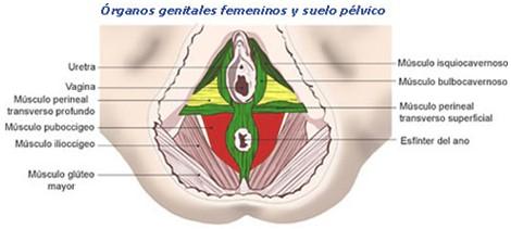 genitales