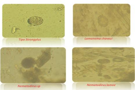 resistencia_antihelmintica_ivermectina/huevos_nematodos_gastrointestinales