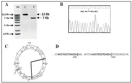 sindrome_Pearson_caso/ADN_mitocondrial_mitocondria