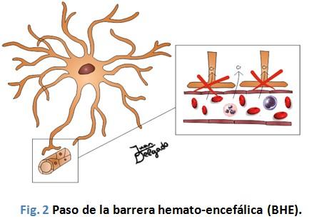 efectos_neuroprotectores_creatina/barrera_hemato-encefalica_paso