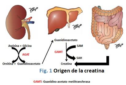 efectos_neuroprotectores_creatina/origen_proceso_generacion