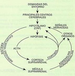 estrategias_afrontamiento_estres/hormonal_liberacion_hormonas