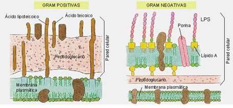 germenes_dialisis_peritoneal/gram_positivas_negativas