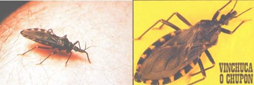 diagnostico_enfermedad_chagas/triatoma_infestans_vinchuca