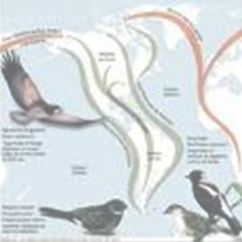 gripe_porcina_H1N1_A/aves_movimientos_migratorios