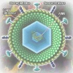 gripe_porcina_H1N1_A/virus_gripal_viral