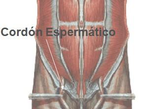 anatomia_canal_inguinal/cordon_espermatico