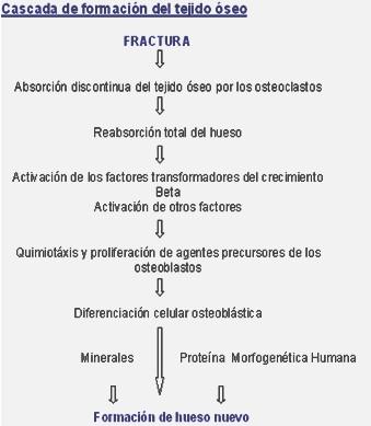 hidroxiapatita_coralina_fracturas/formacion_tejido_oseo