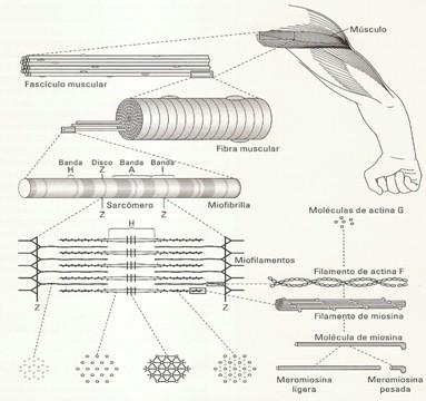 tratamiento_lesiones_musculares/estructura_histologica_musculo
