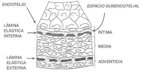endotelio_generalidades/tejido_endotelial_vaso_sanguineo