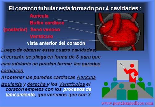 Desarrollo_embriologia_funcionamiento_corazon_2