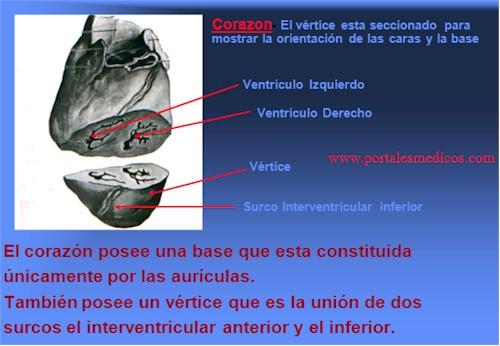 Desarrollo_embriologia_funcionamiento_corazon_5