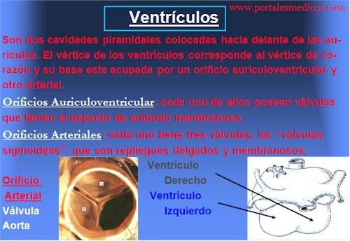 Desarrollo_embriologia_funcionamiento_corazon_7
