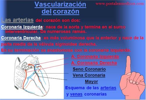 Desarrollo_embriologia_funcionamiento_corazon_8