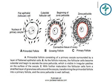 fisiologia_reproductiva/anatomia_fisiologica_genitales_internos_mujer_2