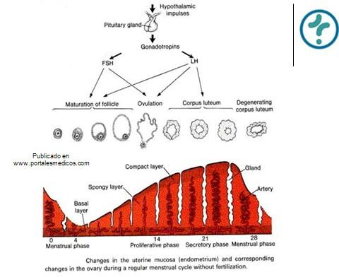 fisiologia_reproductiva/fase_lutea