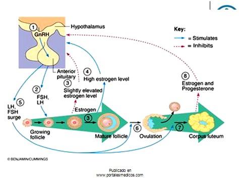 fisiologia_reproductiva/fisiologia_hormonal_2