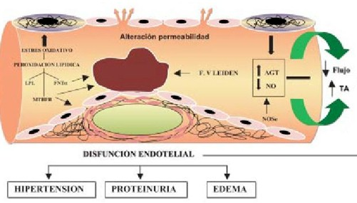 preeclamsia/disfuncion_endotelial_preeclampsia