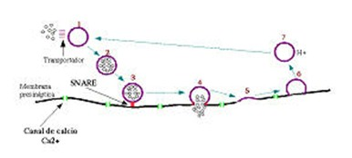teoria_litio_neurotransmision_sinaptica/litio_neurotransmisores_ciclo_vesicular