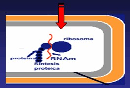 aminoglucosidos2